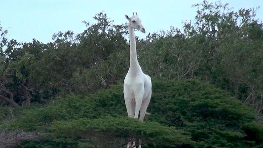 Des girafes blanches très rares ont été filmées