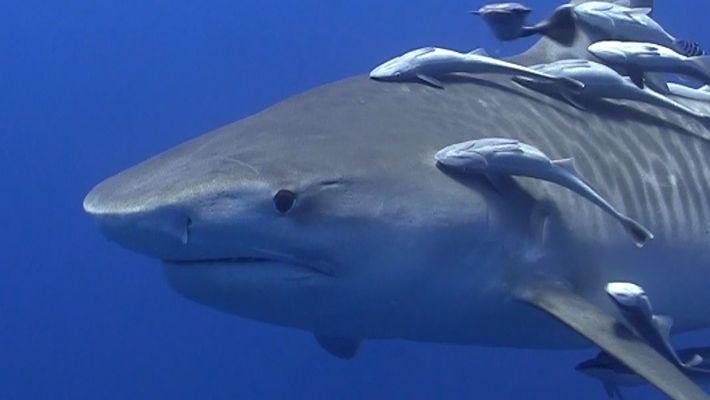 Nager avec des requins-tigres