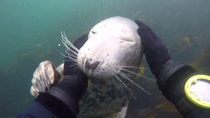 un phoque s'approche d'un plongeur