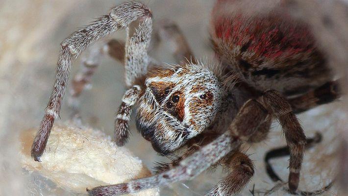 Ces araignées dévorent leur mère