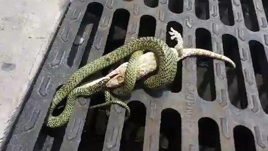Gecko vs Serpent : un combat inégal ?