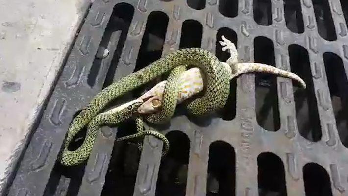 Gecko vs Serpent : un combat inégal?
