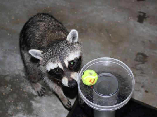 Ce raton-laveur passe un test d'intelligence avec succès