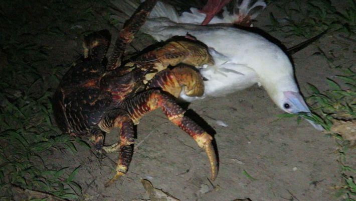 Ce crabe de cocotier a attaqué un oiseau