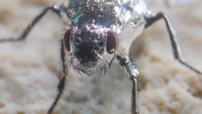 Ces mouches peuvent respirer sous l'eau
