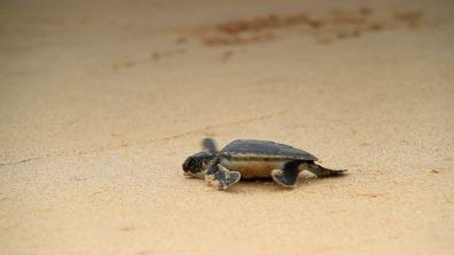 La hausse des températures fait changer de sexe les tortues marines
