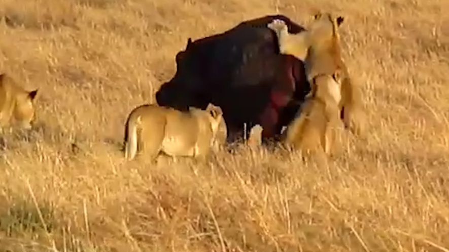 L'hippopotame reste imperturbable face à l'attaque du lion