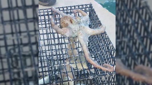 Un poulpe chapardeur surpris sur un bateau de pêche