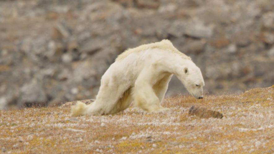 La lente agonie d'un ours polaire dans une vidéo déchirante
