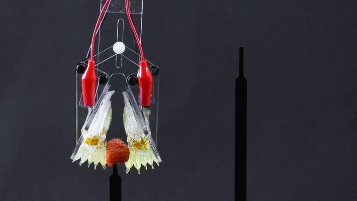 Les muscles artificiels se rapprochent peu à peu des muscles naturels