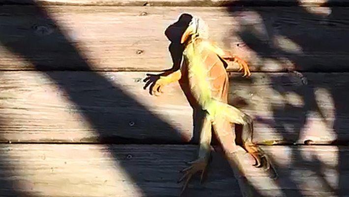 En Floride, les iguanes tombent du ciel