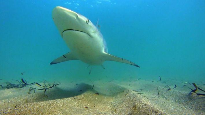 Des requins bordés migrent vers la Floride.