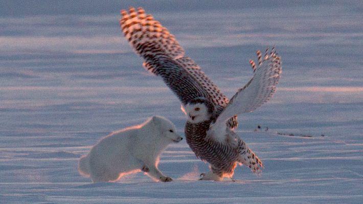"""Pourquoi ce renard polaire """"danse-t-il"""" avec un harfang des neiges ?"""