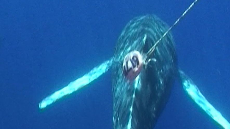 Des sauveteurs hawaïens libèrent des baleines à bosse piégées dans du matériel de pêche