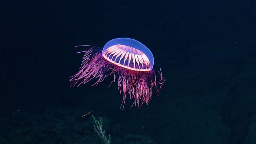 La danse hypnotique d'une rare méduse dans les profondeurs de l'océan