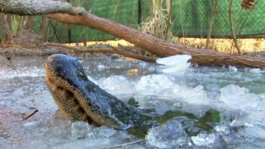Des alligators respirent sous la glace pour survivre