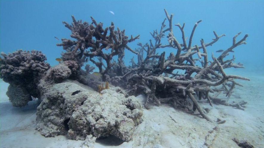 Les coraux des îles Samoa se meurent