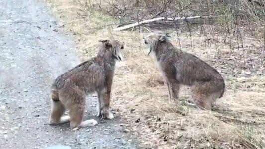 Un étrange combat de cris de lynx