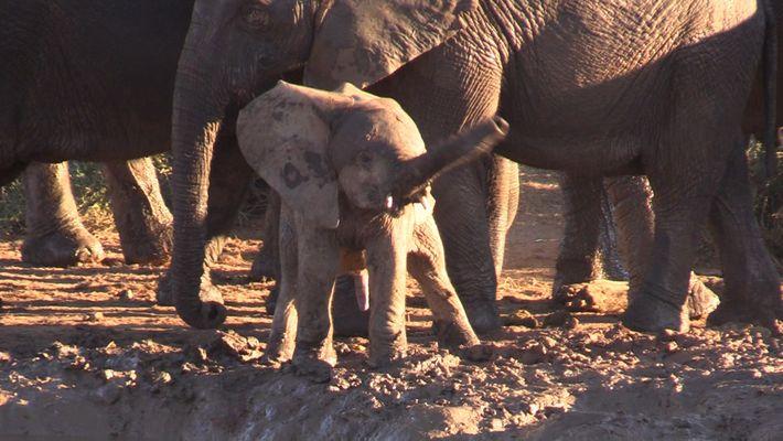 Pourquoi cet éléphanteau fait-il tourner sa trompe ?