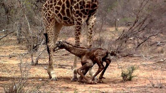Les premiers pas incertains d'un girafon