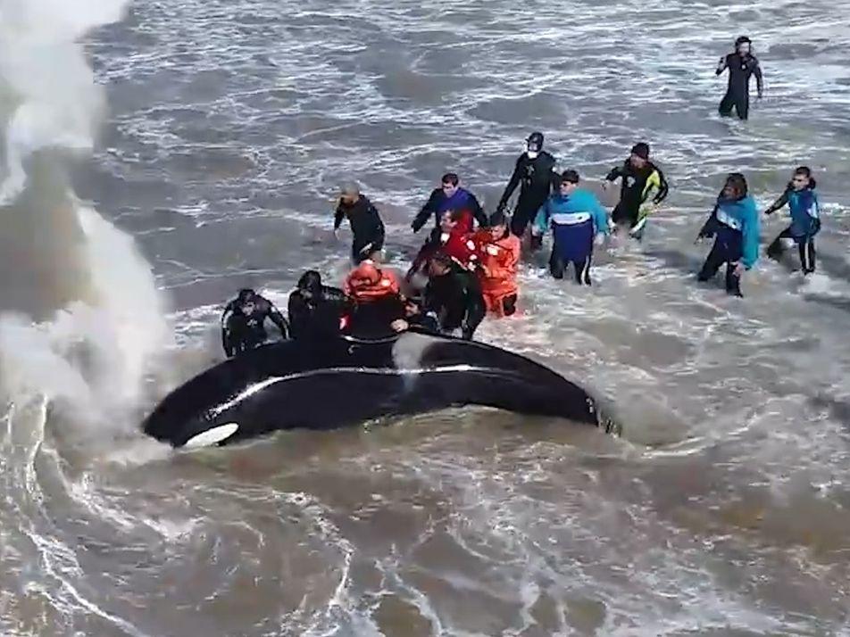 Sauvetage spectaculaire d'une orque échouée sur une plage