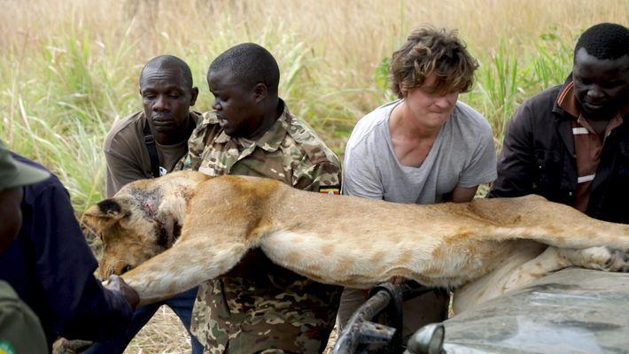 Sauvetage d'une lionne blessée prise au piège