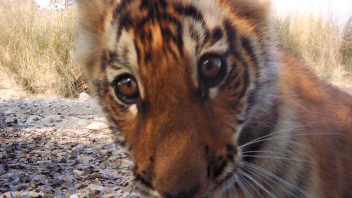 La hausse du nombre de tigres au Népal redonne de l'espoir pour la conservation de l'espèce