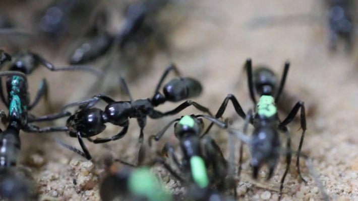 Les fourmis blessées se sacrifient pour préserver la colonie.