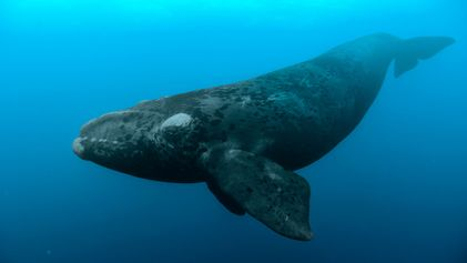 Le taux de mortalité des baleines franches de l'Atlantique Nord est à la hausse