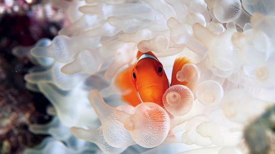 Un poisson-clown se cache dans les tentacules d'une anémone de mer.