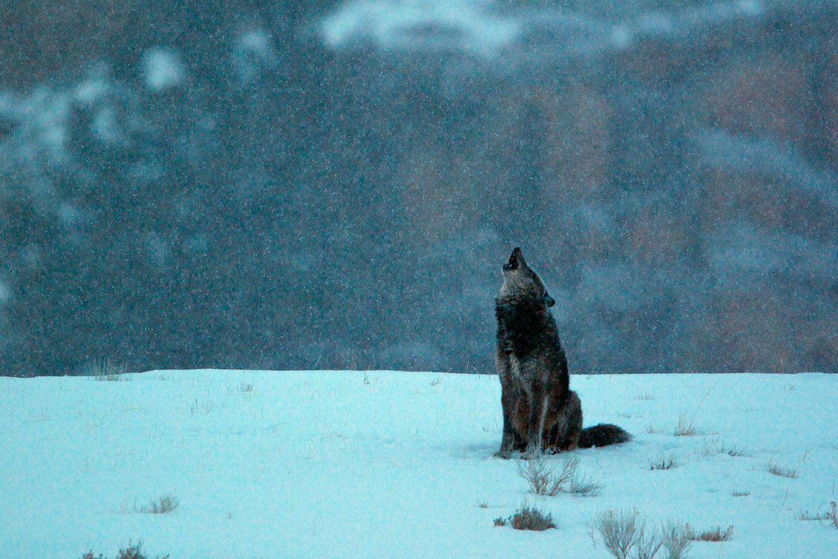 03_booktalk_wolves