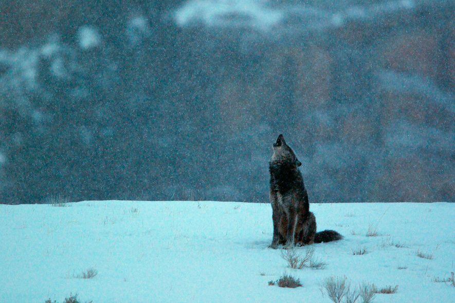 Un loup hurle sous la neige dans le Parc National de Yellowstone.