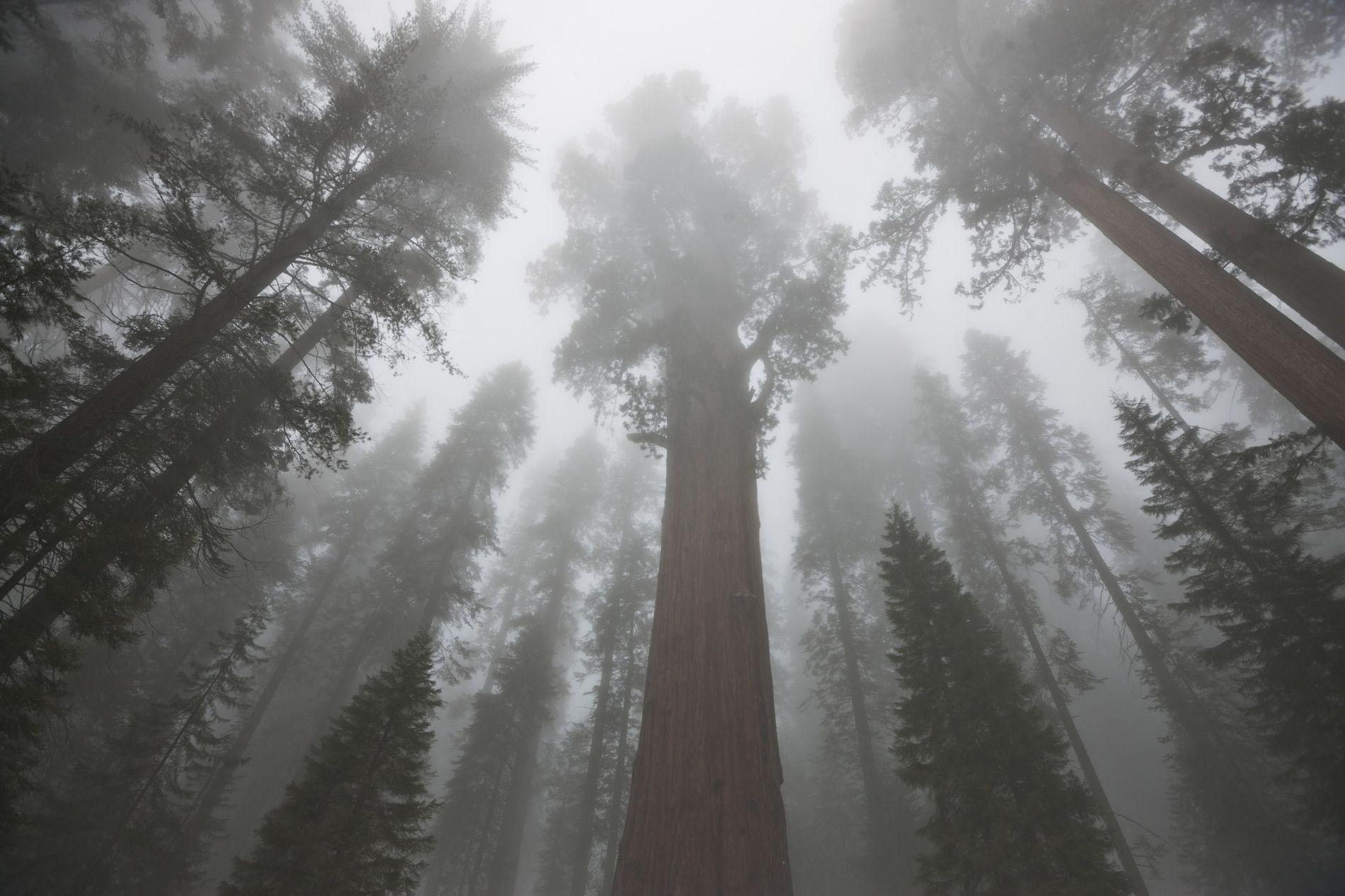 Le houppier des séquoias abrite des insectes, des oiseaux, des rongeurs. C'est aussi là que se ...
