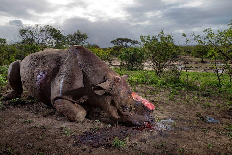 Afrique du Sud : plus de 1000 rhinocéros ont été victimes du braconnage en 2017