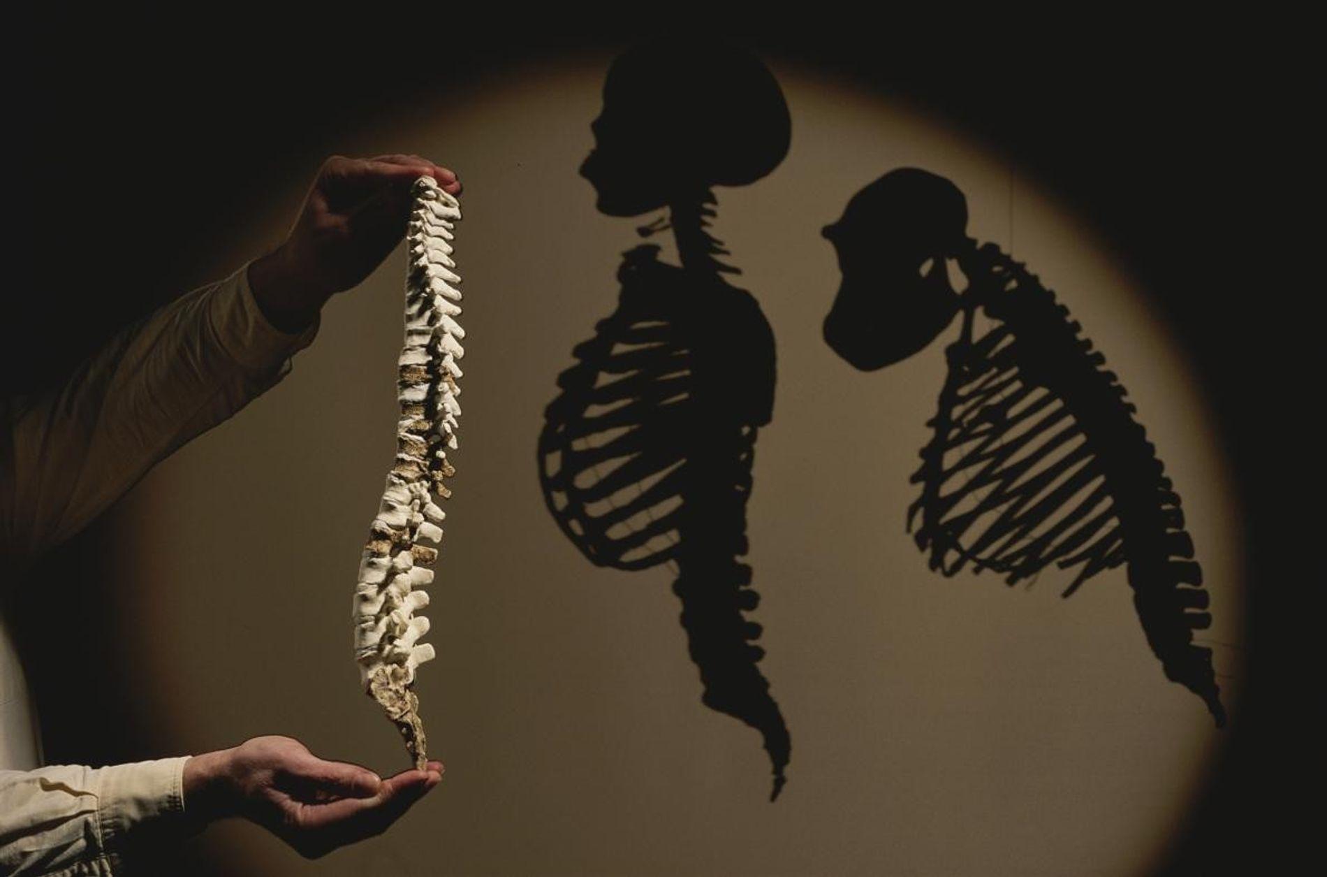 Modélisation de la colonne vertébrale de l'Australopithecus afarensis (Lucy) montré à côté des ombres d'un humain ...
