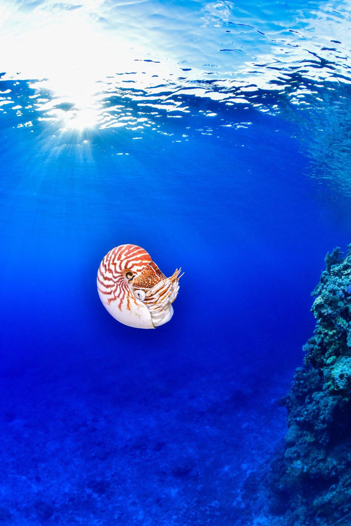 Le nautile, apparu bien avant les dinosaures, n'a que peu évolué depuis cinq cents millions d'années, ...