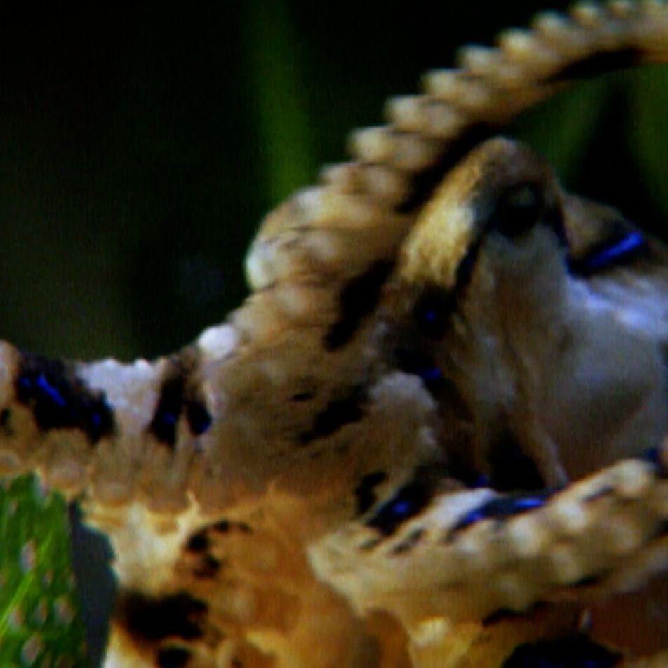 Admirez comment cette pieuvre traque sa proie