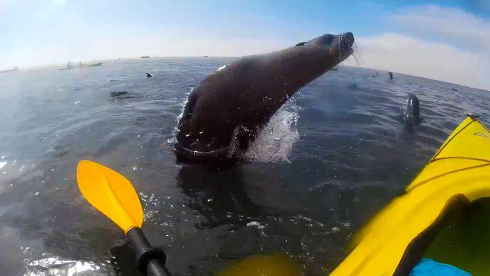 Des phoques sautent autour de touristes