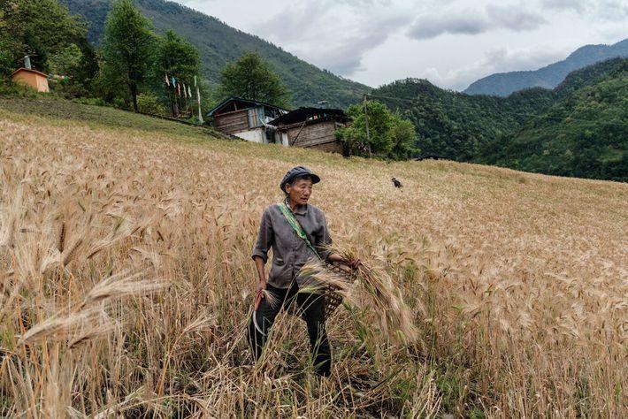 Un ouvrier agricole récolte de l'orge à Chala, un des nombreux villages fertiles sur les rives ...