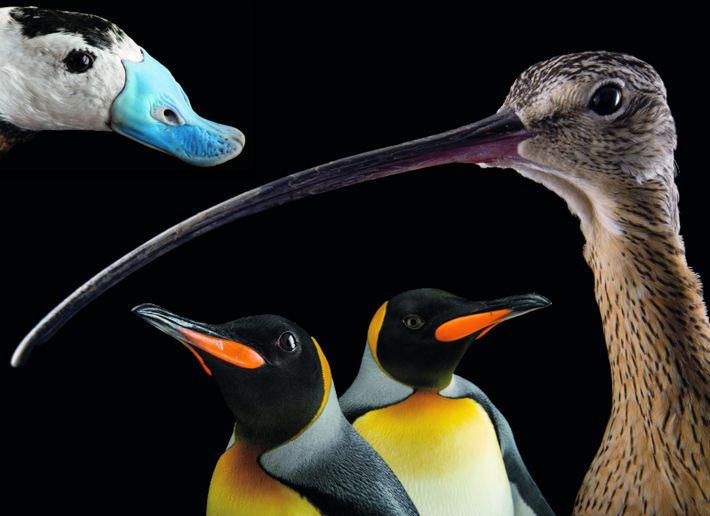 À gauche, l'érismature à tête blanche (Oxyura leucocephala) est une espèce de canard, en danger, qui ...