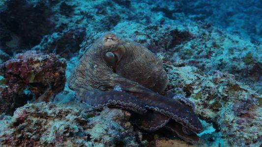 Ce poulpe a une incroyable capacité à se camoufler