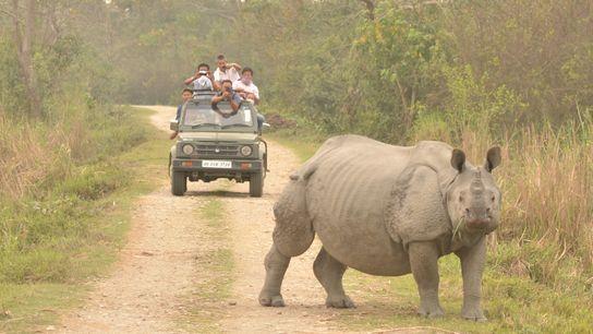 Un rhinocéros indien (Rhinoceros unicornis) au parc national de Kaziranga (Inde).