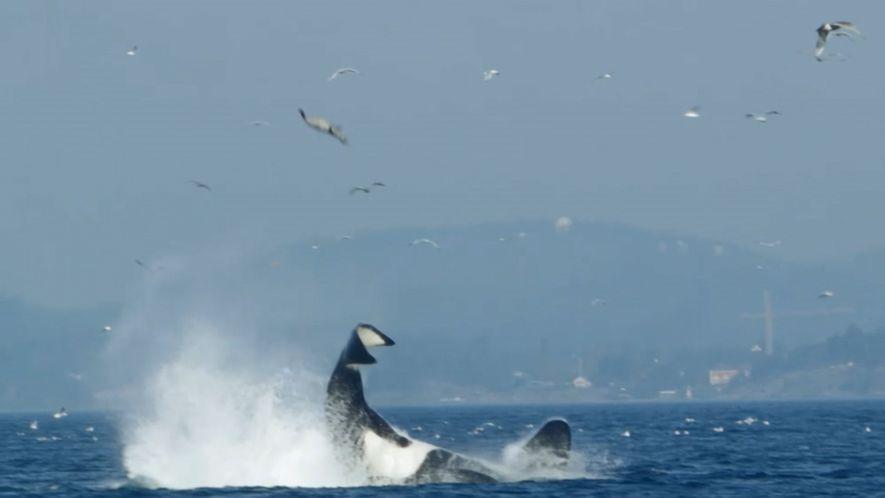 Orca Style