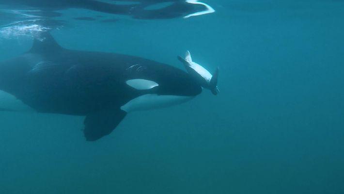 Pourquoi cette orque fait-elle tournoyer une tortue de mer avec son museau ?