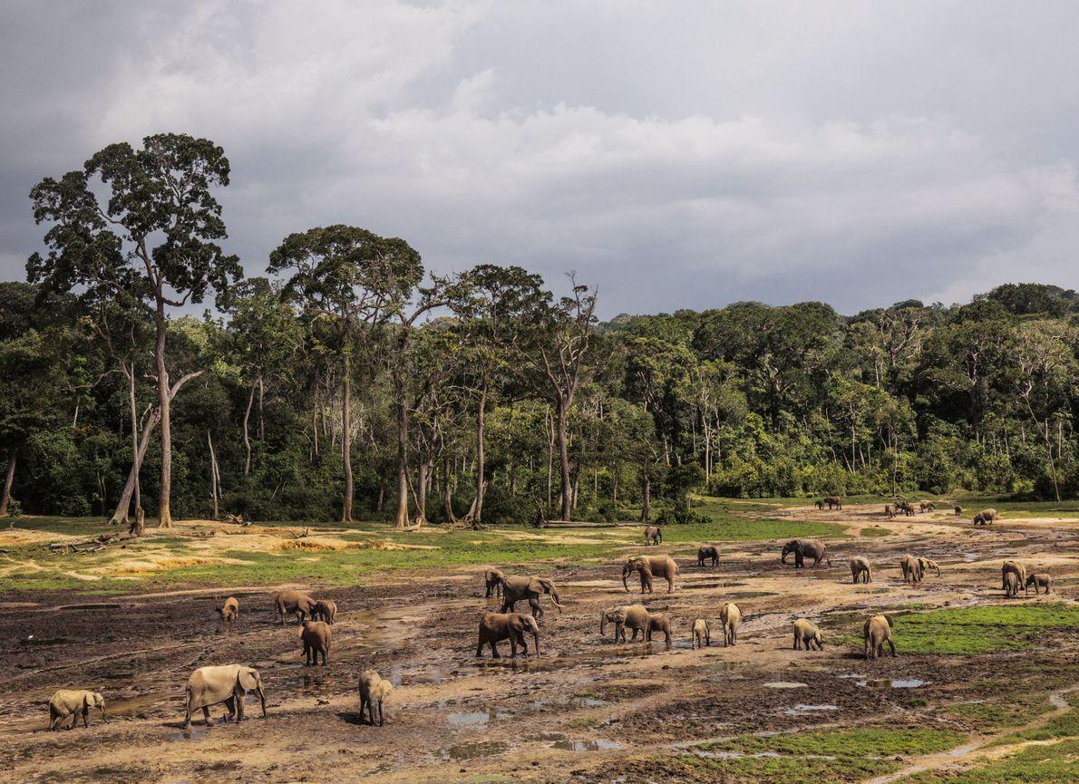 Des éléphants se rassemblent dans la réserve spéciale de Dzanga-Sangha. L'année de la chute du gouvernement, ...