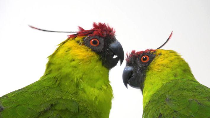 Pourquoi les espèces de perroquets sont-elles en danger ?
