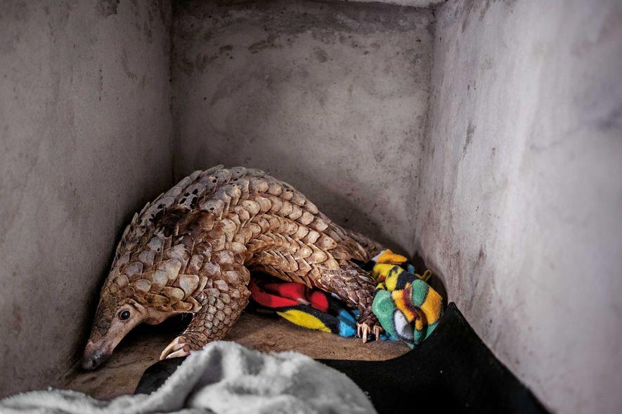 L'ONG Save Vietnam's Wildlife s'occupera de ce jeune jusqu'à ce qu'il soit assez fort pour être ...