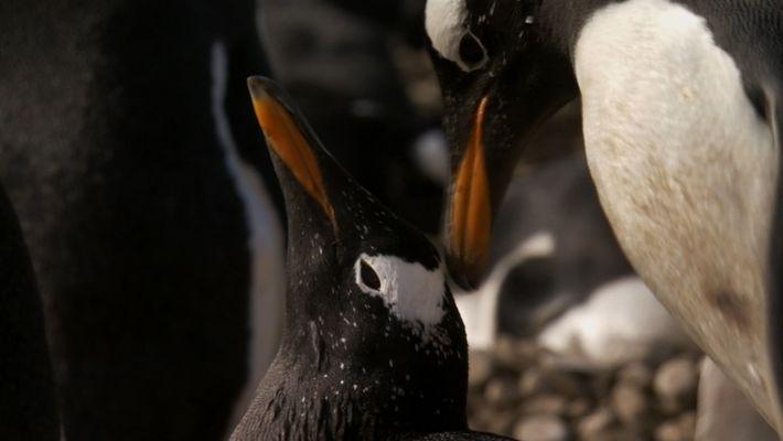 Histoire d'amour entre pingouins