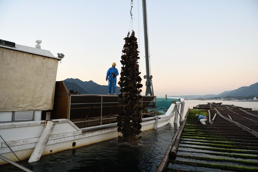 Élevées depuis plus detrois siècles, les huîtres de Miyajima, que les ostréiculteurs immergent «en guirlandes»de 300coquilles pendanttrois ans, sont réputées pourleur qualité exceptionnelle…et leur taille.