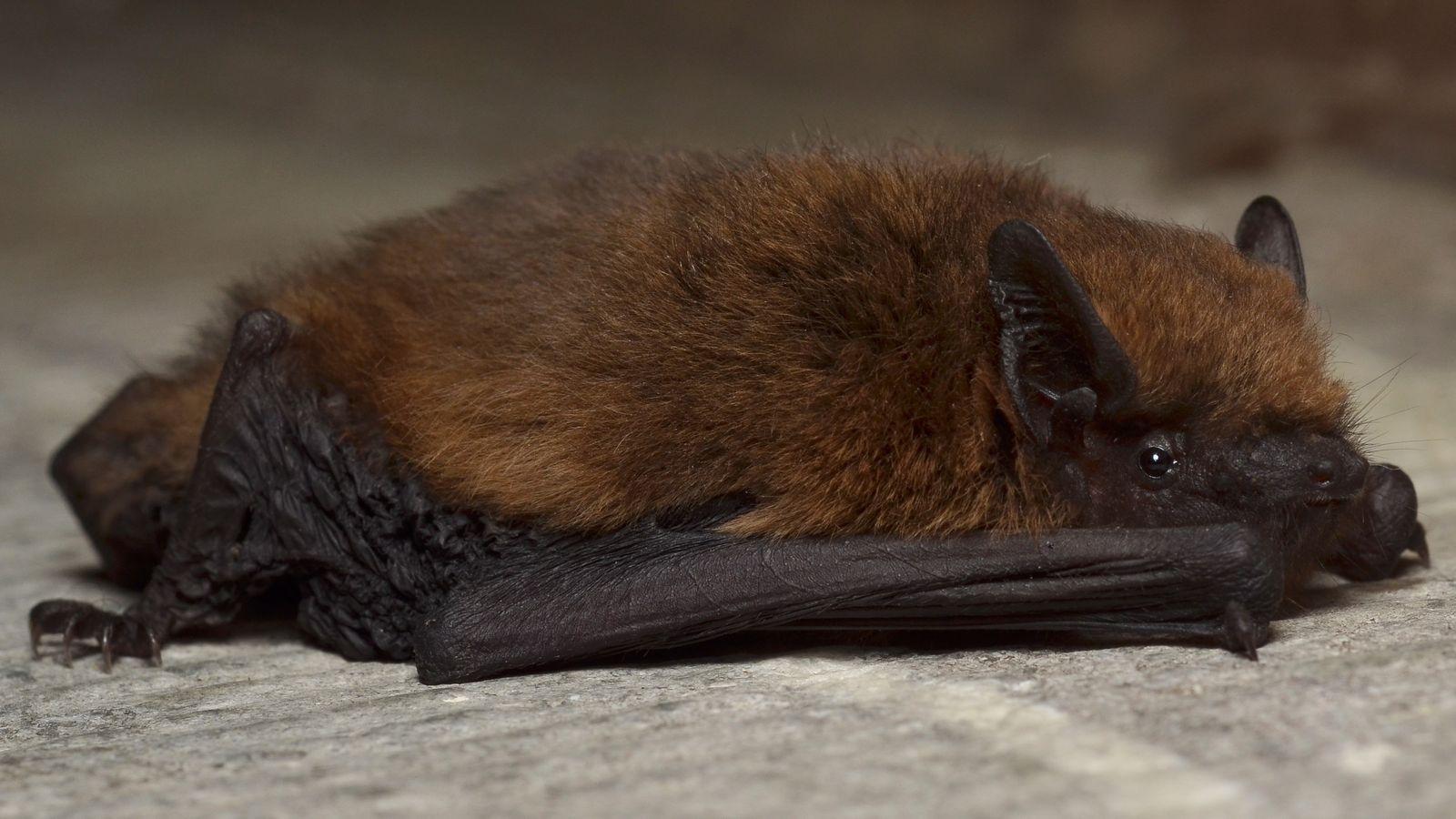 La pipistrelle commune ou Pipistrellus pipistrellus est la chauve-souris la plus fréquemment rencontrée en France.